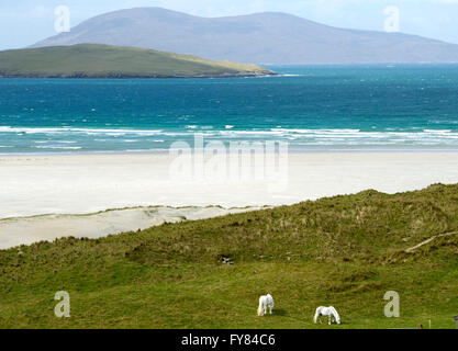 White horses graze on the dunes near Luskentyre beach Isle of Harris Scotland, UK. - Stock Photo