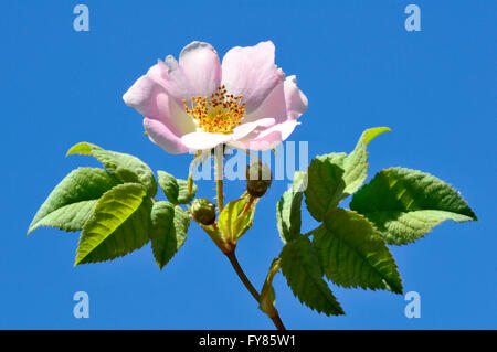 Closeup Dog rose (Rosa canina) flower on blue sky background - Stock Photo