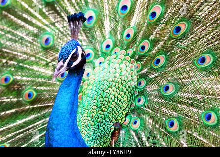 Closeup male peacock (Pavo cristatus) displaying tail feathers - Stock Photo