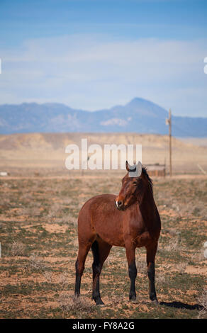 A female (mare) horse (Equus ferus caballus) standing in the desert. Shiprock, San Juan County, New Mexico, USA. - Stock Photo