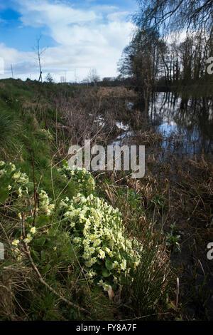 Wild Primroses growing near water Somerset, UK - Stock Photo