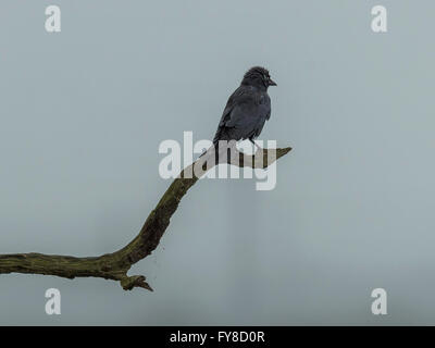 Jackdaw (Corvus monedula) on branch silhouette against grey sky background. - Stock Photo