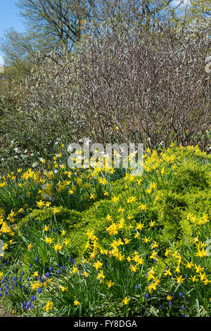 Spring daffodils and shrubs at Sheffield botanical gardens, Yorkshire, England. - Stock Photo