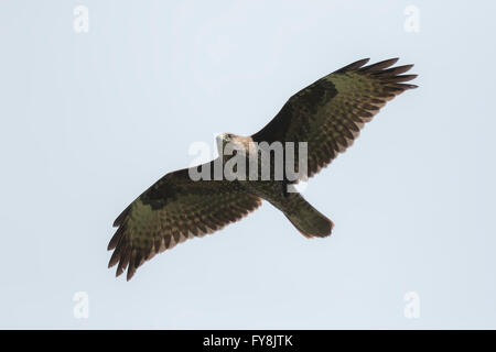 Common buzzard, Buteo Buteo, in flight, hovering in the sky in search for a prey. - Stock Photo