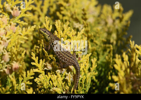 Italian wall lizard climbing a thuya bush podarcis sicula lucertola - Stock Photo