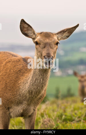 One red deer hind standing in a clearing on Gallax Hill in Exmoor National Park, Somerset, England - Stock Photo