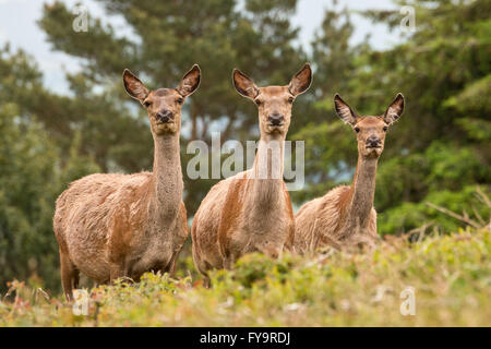Group of three red deer hinds standing in a clearing on Gallax Hill in Exmoor National Park, Somerset, England - Stock Photo