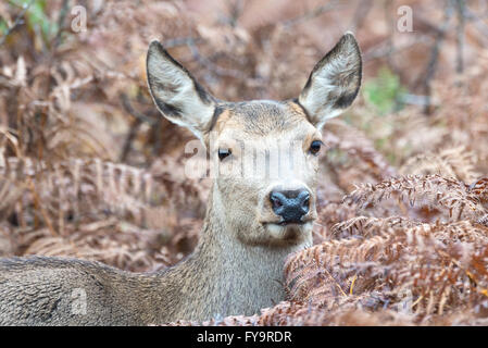 A red deer hind standing in the autumnal undergrowth on Gallax Hill in Exmoor National Park, Somerset, England - Stock Photo