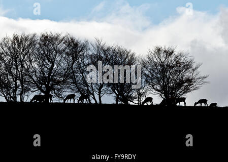 A herd of red dear stags and hinds grazing on the skyline on Almsworthy Common, Exmoor, Somerset, England - Stock Photo