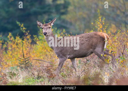 One red deer hind walking through the autumnal undergrowth on Gallax Hill in Exmoor National Park, Somerset, England - Stock Photo