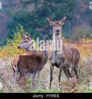 Group of three red deer hinds standing in the autumnal undergrowth on Gallax Hill in Exmoor National Park, Somerset, - Stock Photo