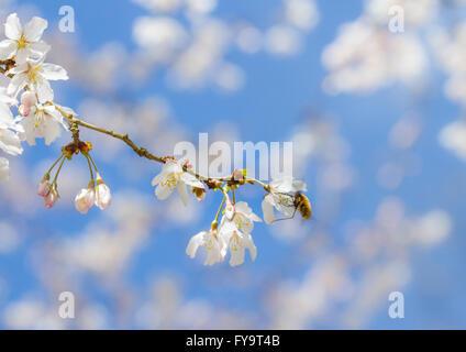 Bee Fly (Bombylius major) feeding on cherry blossom