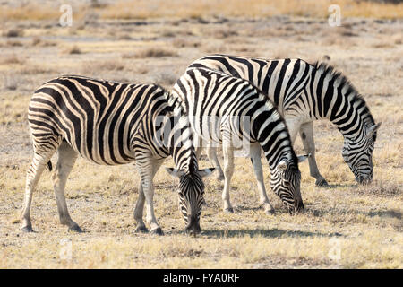 Plain's Zebra Chapman's race, Equus quagga chapmani,  Etosha National Park Namibia - Stock Photo