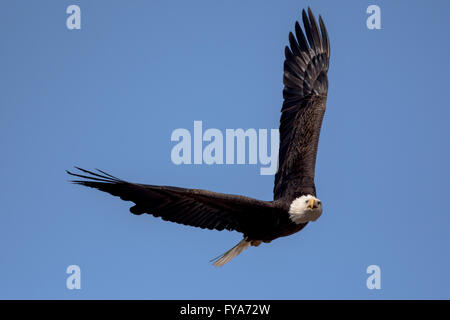 An American Bald Eagle flying around on a beautiful day. - Stock Photo