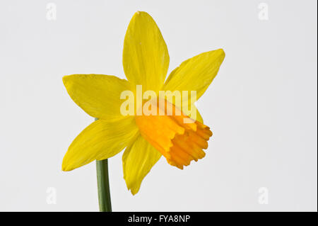 Narcissus cyclamineus 'Jetfire' daffodil flower with yellow perianth and darker orange trumpet - Stock Photo