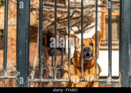 german shepherd dog watchdog - Stock Photo