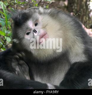 Black snub-nosed monkey - Stock Photo