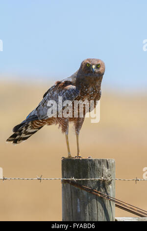 Spotted Harrier Adult. - Stock Photo