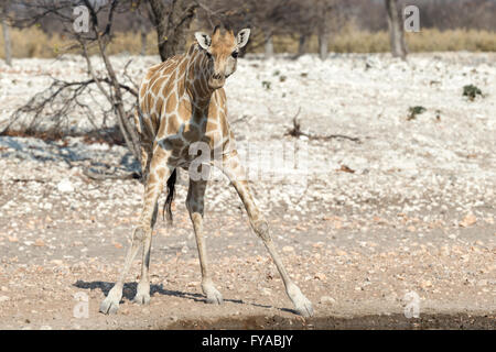 Angolan giraffe (G. angolensis), also known as Namibian giraffe cautiously drinking Etosha National Park Namibia - Stock Photo