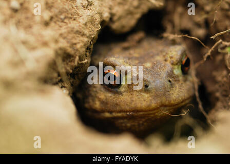 Macro photography of a toad in a hole watching you intently 2 - Stock Photo