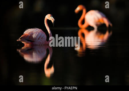 American flamingo Phoenicopterus ruber, feeding in shallow lagoon, Punta Cormorant, Floreana, Galápagos Islands - Stock Photo