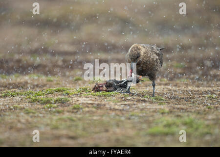 Brown skua Stercorarius antarcticus adult eating Gentoo Penguin Pygoscelis papua, Sea Lion Island, Falkland Islands - Stock Photo