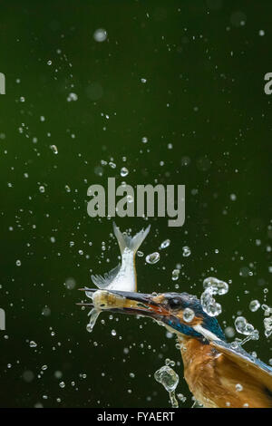 Common kingfisher Alcedo atthis, adult male, catching a fish in woodland pool, Tiszaalpár, Hungary in July. - Stock Photo