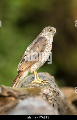 Eurasian sparrowhawk Accipiter nisus, juvenile male, perched on log in woodland, Lakitelek, Hungary in July. - Stock Photo