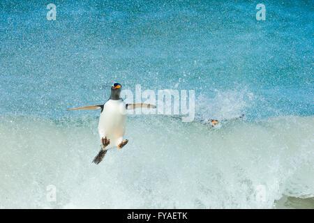 Gentoo penguin Pygoscelis papua, adult, returning from fishing foray, New Island, Falkland Islands in December. - Stock Photo