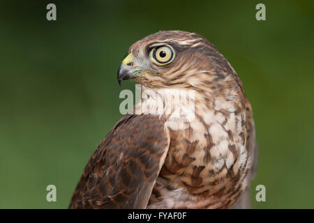 Eurasian sparrowhawk Accipiter nisus (controlled) being ringed at Gordano Valley, Somerset, UK in August. - Stock Photo