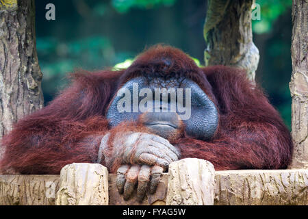 Orangutan posing in front of camera. The orangutans are the two exclusively Asian species of extant great apes. - Stock Photo