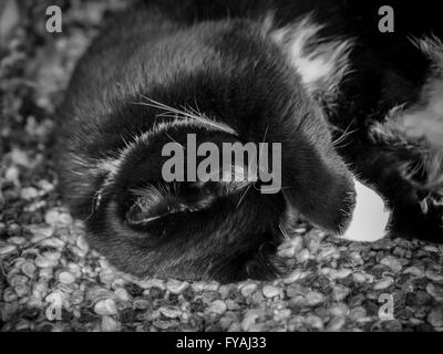Black and white cat hiding it's face with paw - Stock Photo