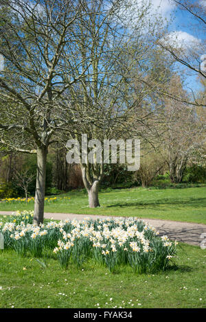 White daffodils blooming in spring sunshine in an English public park. - Stock Photo