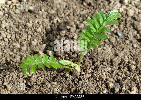 Gaensefingerkraut; Ist eine Heilpflanze und Arzneipflanze, Wildpflanze - Stock Photo