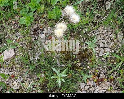 Golddistel; Ist eine Heilpflanze und Arzneipflanze, Wildpflanze - Stock Photo