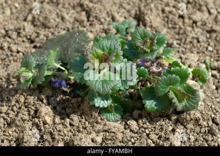 Gundelrebe; Ist eine Heilpflanze und Arzneipflanze, Wildpflanze - Stock Photo