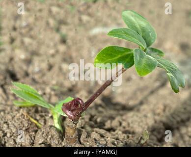 Die Christrose Ist eine Heilpflanze und Arzneipflanze, Wildpflanze die im Winter weiss blueht - Stock Photo