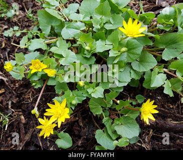 Scharbockskraut Ist eine Heilpflanze und Arzneipflanze, Wildpflanze - Stock Photo