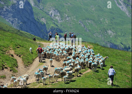 Shepherd and tourists herding flock of sheep to pasture up in the mountains along the Col du Soulor, Hautes Pyrénées, - Stock Photo