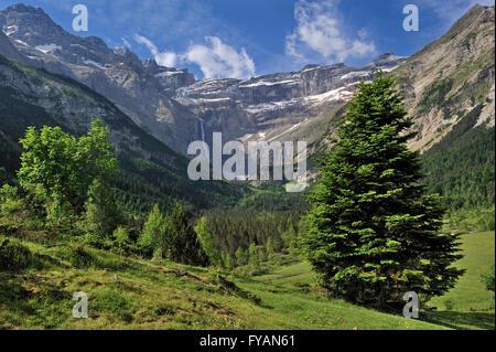 Mountain Pine (Pinus mugo) in the Cirque de Gavarnie and the Gavarnie Falls / Grande Cascade de Gavarnie, Midi-Pyrénées, - Stock Photo