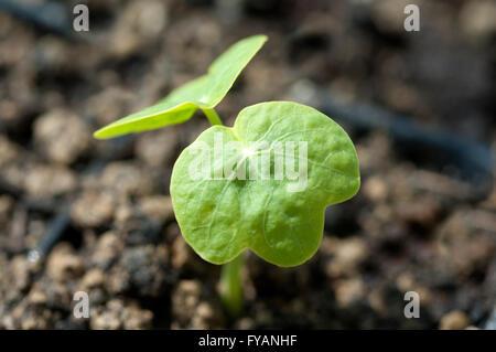 Kapuzinerkresse; Ist eine Heilpflanze und Arzneipflanze, Wildpflanze, Bume und Duftblume - Stock Photo