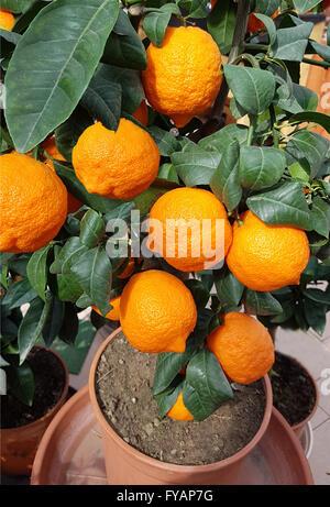 Zitrone; Limone, Rosso, ist eine Zitrone mit roter Schale