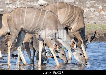 Kudu herd watering hole Etosha National Park Namibia - Stock Photo