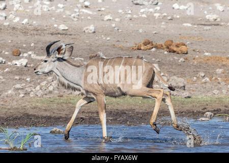 Kudu young male watering hole Etosha National Park Namibia - Stock Photo
