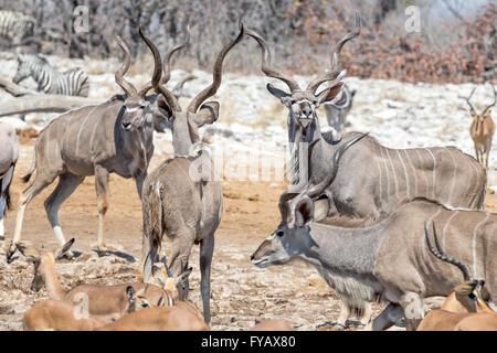 Scenes around watering hole Etosha National Park Namibia - male kudu batchelor herd - Stock Photo