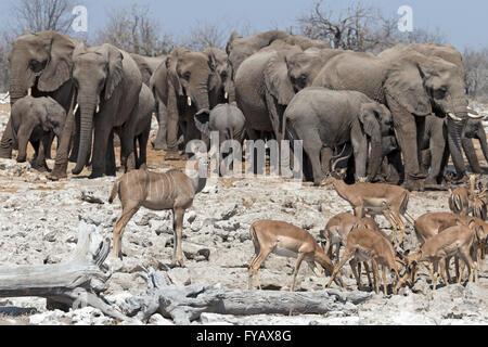 Scenes around watering hole Etosha National Park Namibia - Stock Photo