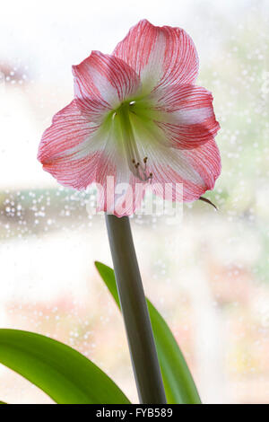 Amaryllis Minerva in bloom, lit with backlight. - Stock Photo
