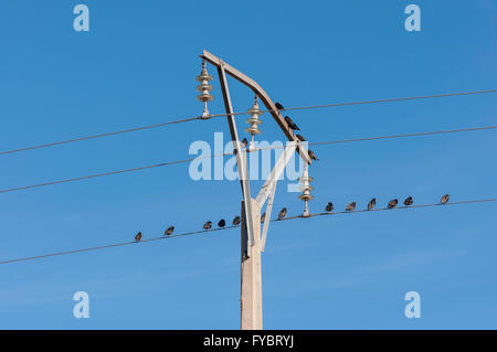 Flock of Spotless Starling, Sturnus unicolor, perched on a power line. Photo taken in Mesa de Ocaña, Toledo, Spain - Stock Photo