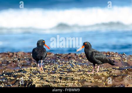 Sooty Oystercatcher Haematopus Fuliginosus feeding on the rocks - Stock Photo