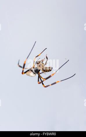 Golden Orb Web Spider (Nephila plumipes), Mt Annan, New South Wales, Australia - Stock Photo